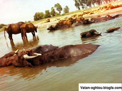 گاومیش در رودخانه